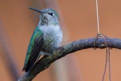 MG_1834-Annas-Hummingbird-web