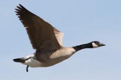 MG_1894-Canada-Goose-in-flight