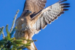 MG_2025-Red-Tailed-Hawk