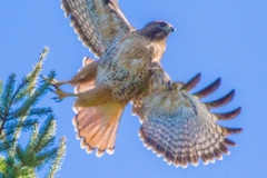 MG_2026-Red-Tailed-Hawk