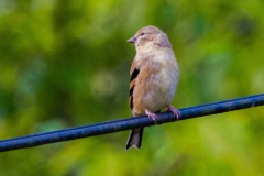 MG_2291-juvenile-American-Goldfinch
