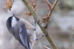 MG_2426-Black-Capped-Chickadee