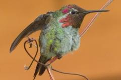 MG_2626-Annas-Hummingbird