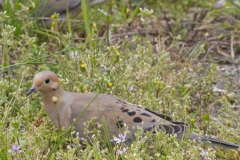 MG_2631-Mourning-Doves