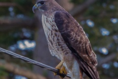 MG_2866-Red-Tailed-Hawk