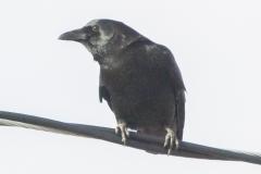 MG_2873-American-Crow