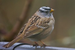 MG_2929-White-Crowned-Sparrow