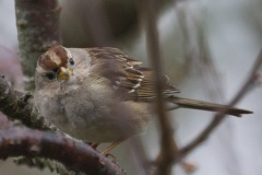 MG_2945-juvenile-White-Crowned-Sparrow