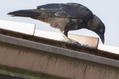 MG_2976-crow
