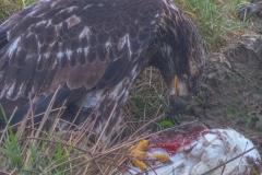 MG_2999-Bald-Eagle-juvenile