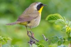 MG_3291-Common-Yellow-Throat
