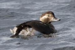 MG_3305-Long-Tailed-Duck