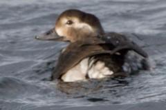 MG_3327-Long-Tailed-Duck