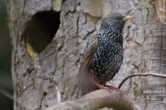MG_3333-European-Starling