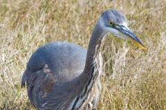 MG_3461-Great-Blue-Heron-juvenile