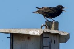 MG_3589-European-Starling