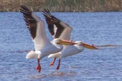 MG_3694-American-White-Pelican