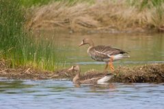 MG_3707-Greater-White-fronted-Goose