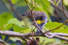 MG_3822-Yellow-Rumped-Warbler-Audubon