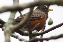 MG_3859-American-Robin