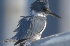 MG_4145-Belted-Kingfisher-male