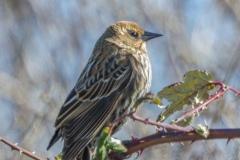 MG_4195-Red-Winged-Blackbird-female