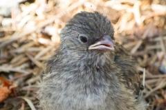 MG_4213-Junco-chick