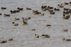 MG_4254-Green-Winged-Teal-flock