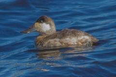 MG_4326-Ruddy-Duck-male