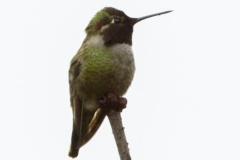 MG_4495-Anna-Humingbird-black
