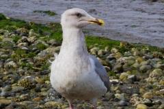 MG_4553-Glaucous-Winged-Gull-third-winter