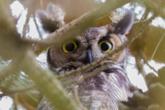 MG_4759-Great-Horned-Owl