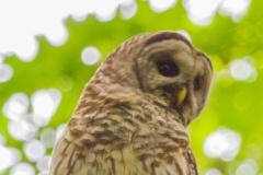 MG_4780-Barred-Owl