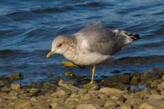 MG_4918-Mew-Gull