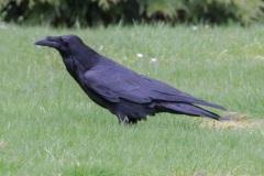 MG_4981-Common-Raven