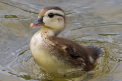 MG_5084-Wood-Duck-baby
