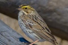MG_5217-Savannah-Sparrow