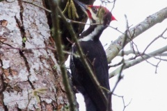 MG_5239-Pileated-woodpecker-behind-my-house