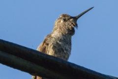 MG_5254-adolescent-Annas-Hummingbird