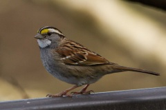 MG_5284-White-Throated-Sparrow