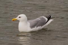 MG_5289-Western-Gull-breeding-plumage