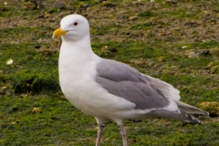 MG_5317-Glaucous-Wing-Gull-breeding-plumage