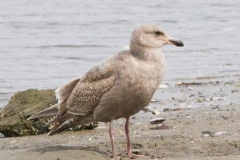 MG_5423-Glaucous-Wing-Gull-first-year