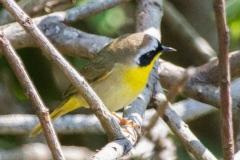 MG_5488-Common-Yellow-Throat
