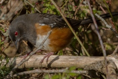 MG_5510-Spotted-Towhee