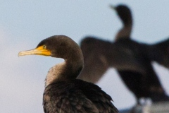 MG_5565-Double-Crested-Cormorant