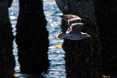MG_5732-Heermans-Gull