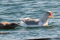 MG_5758-.Glaucous-Winged-Gull-adult-and-first-year
