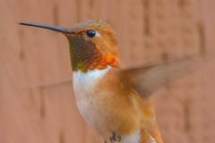 MG_5768-Rufous-Hummingbird