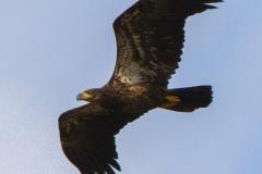 MG_5887-Bald-Eagle-juvenile